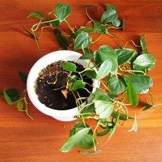 Які квіти очищають повітря. Рослини для очищення повітря в квартирі рослини очищаючі повітря в будинку