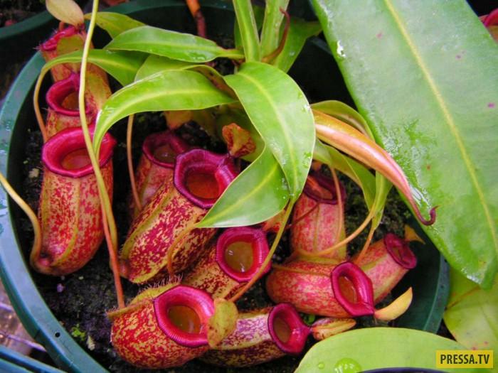 Рослини-хижаки в домашніх умовах. Хижі рослини-майстри витончених вбивств квітка який поїдає комах