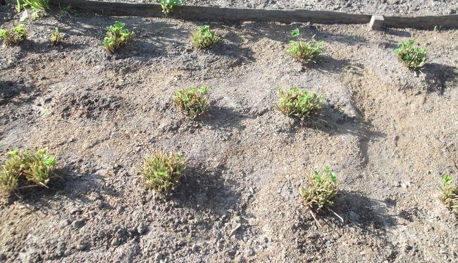 Вапно або доломітове борошно: що краще - плюси і мінуси. Як використовувати доломітове борошно на своєму городі норма внесення доломітового борошна для розкислення