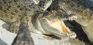 До чого сниться крокодил жінці. Сонник до чого сниться крокодил
