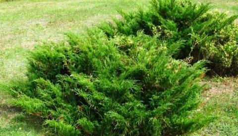Як виглядає ялівець в лісі. Лікувальні властивості ялівцю