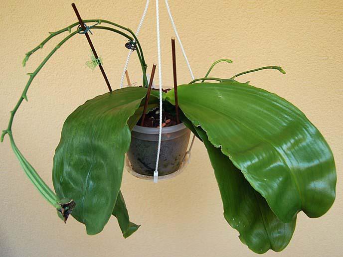Хвороби і шкідники орхідей і їх лікування. Вивчаємо хвороби орхідей і способи порятунку рослин