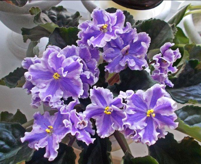 Фіалки-як доглядати щоб цвіли? правильний догляд за фіалками. Поради по догляду за кімнатними фіалками квіти кімнатні фіалки розведення догляд