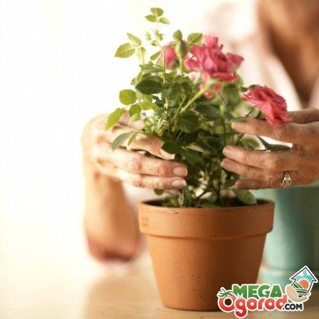Якою водою поливати троянди теплою або холодною. Доставка квітів в оренбурзі здійснюється цілодобово