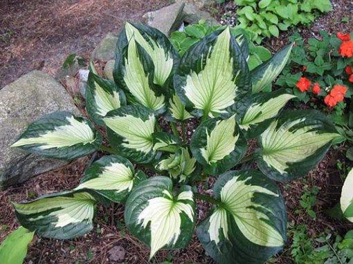 Хоста вирощування з насіння коли садити. Хоста, посадка і догляд в домашніх умовах