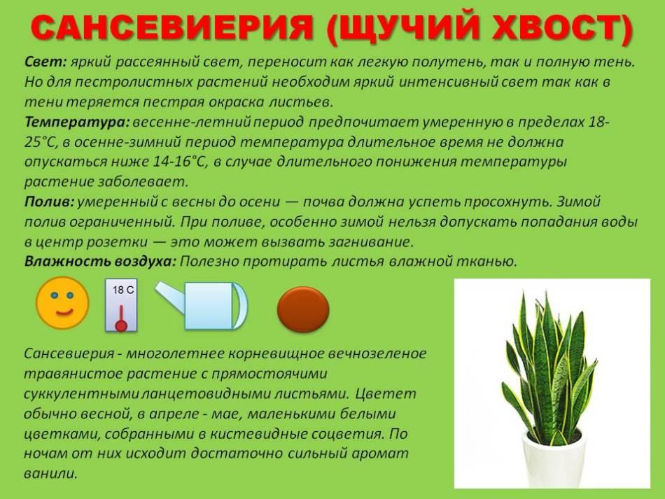 Квітучий тещин язик. Тещин язик квітка: корисні властивості, догляд в домашніх умовах, розмноження, пересадка