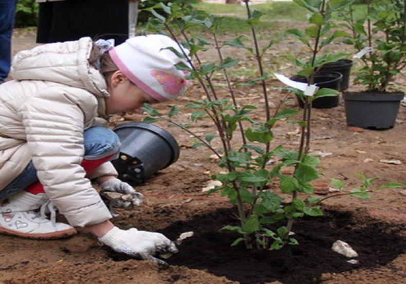 В який час буває бузок. Бузок: опис, вирощування і догляд в саду
