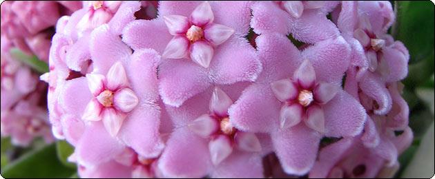 Кімнатні рослини і квіти. Плющ (hedera)