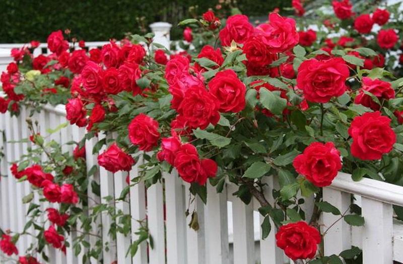 Як краще пересадити троянду яка вже цвіла. Як восени пересадити троянду на нове місце? коли краще пересадити троянди: восени або навесні
