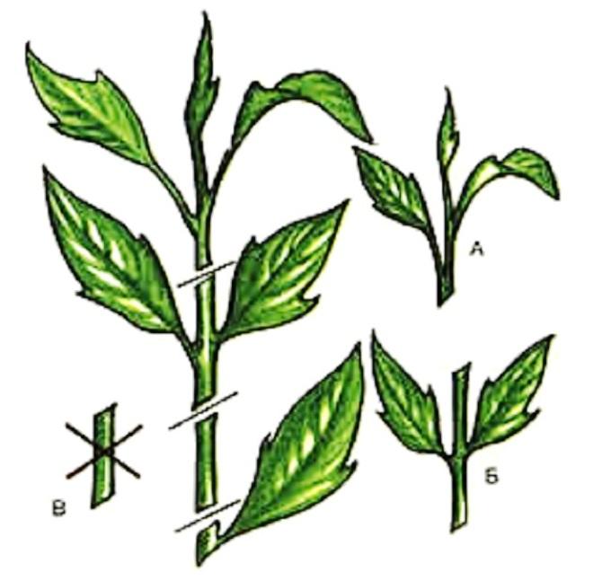Що символізує гібіскус. Гібіскус «квітка смерті  - чому його так називають? сучасні гібридні сорти