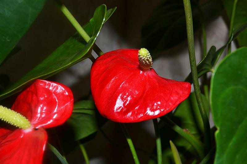 Рослина антуріум догляд. Антуріум