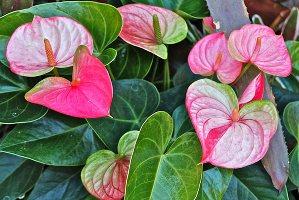 Улюблені квіти. Півонія деревоподібна: кращі сорти, правила догляду та вирощування рослина деревоподібна півонія