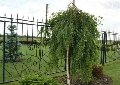 Як посадити березу з гілки. Особливості використання лісових беріз в ландшафтному дизайні ділянки