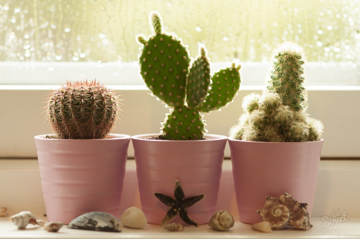 Догляд за великим кактусом. Якою водою і як поливати кактус в домашніх умовах? кактуси в домашніх умовах-відео