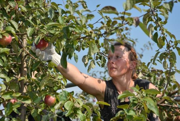 Пристосування для зняття груш з дерева. Пристосування для збору яблук: робимо плодосемнік своїми руками