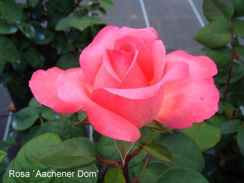 Роза пантер роуз енциклопедія троянд.  троянда чайно-гібридна пінк пантер (pink panther)