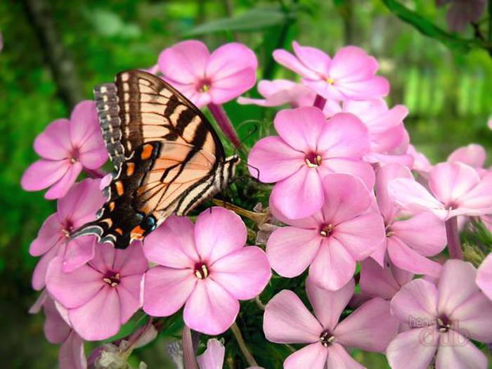 Флокси квітучі навесні. Багаторічні флокси: посадка і догляд, розмноження флокс дугласа посадка і догляд