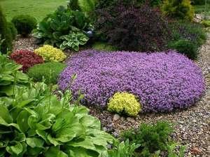 Чебрець: вирощування в домашніх умовах. Чебрець або чебрець в ландшафтному дизайні колір чебрець