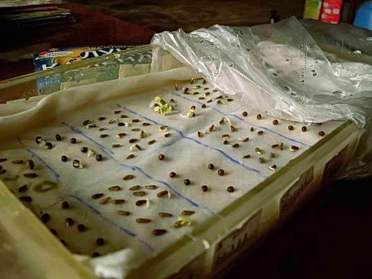 Перевірка насіння перців на схожість і передпосівне пророщування. Що таке схожість моркви і як її перевірити лабораторія перевірки насіння на схожість