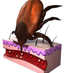 Великі неприємності від маленьких кліщів. Чим небезпечні кліщі для людини? через якийсь час кліщ випускає отруту