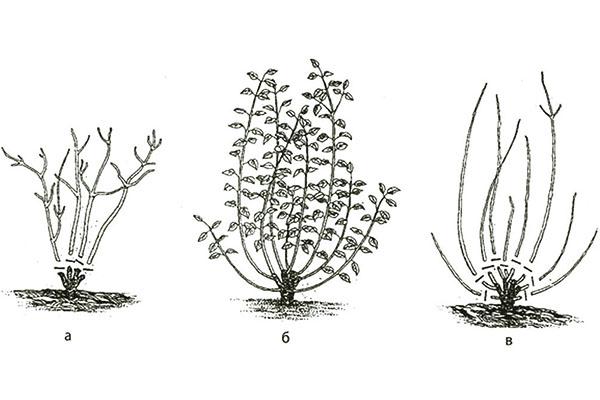 Розмноження дерену білого восени. Чагарник дерен: види, посадка, догляд