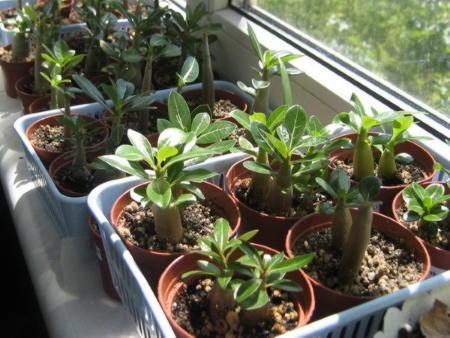 Квіти аденіуми вирощування розмноження. Догляд за адениумом в домашніх умовах — секрети досвідчених квітникарів