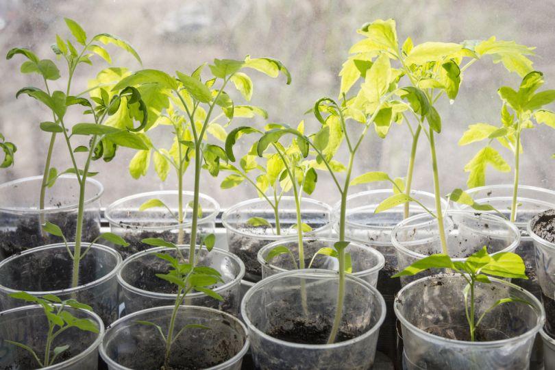 Зробити стаканчики для розсади з плівки. У чому вирощувати розсаду і як зробити тару з підручних матеріалів