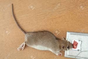 До чого сняться дохлі миші по різним сонникам. Наснилися мертві миші: як правильно тлумачити по сонникам