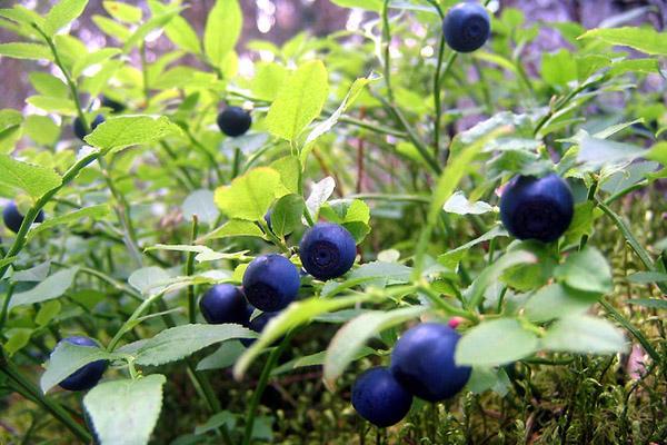 Коли зявляються ягоди суниці в лісі. Суниця лісова