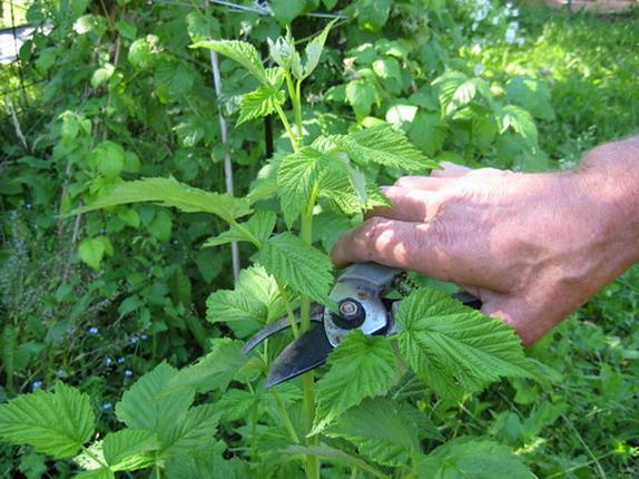 Обрізка малини під час цвітіння. Як і коли обрізати малину: поради професіоналів